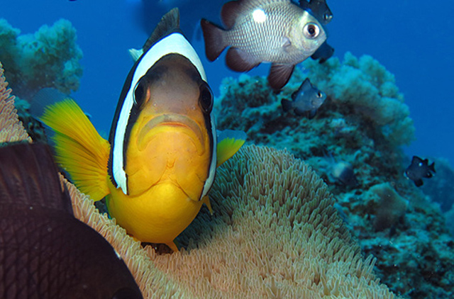 Clownfish-diving